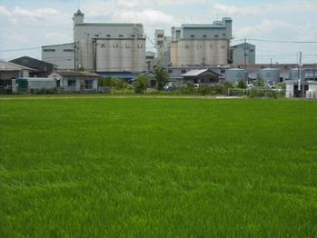 市内の田んぼでは、稲が元気に発育中。 緑のじゅうたんを敷き詰めたようです。